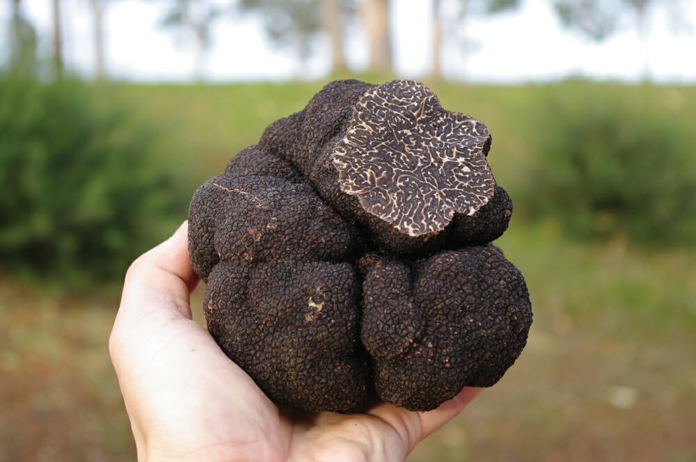 grow-truffles